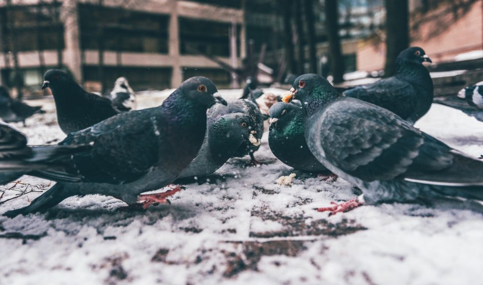Control de aves urbanas en Barcelona para evitar la transmisión de virus y bacterias